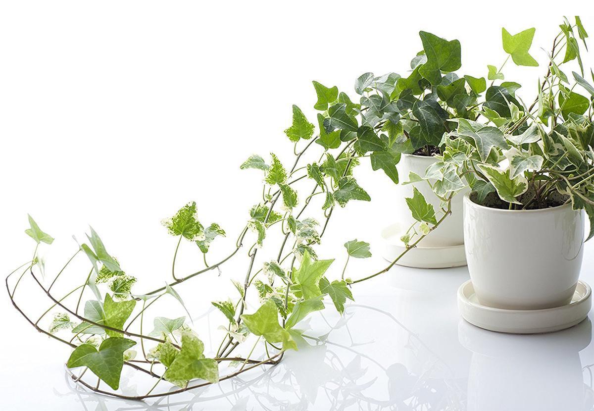 trồng dây leo thường xuân