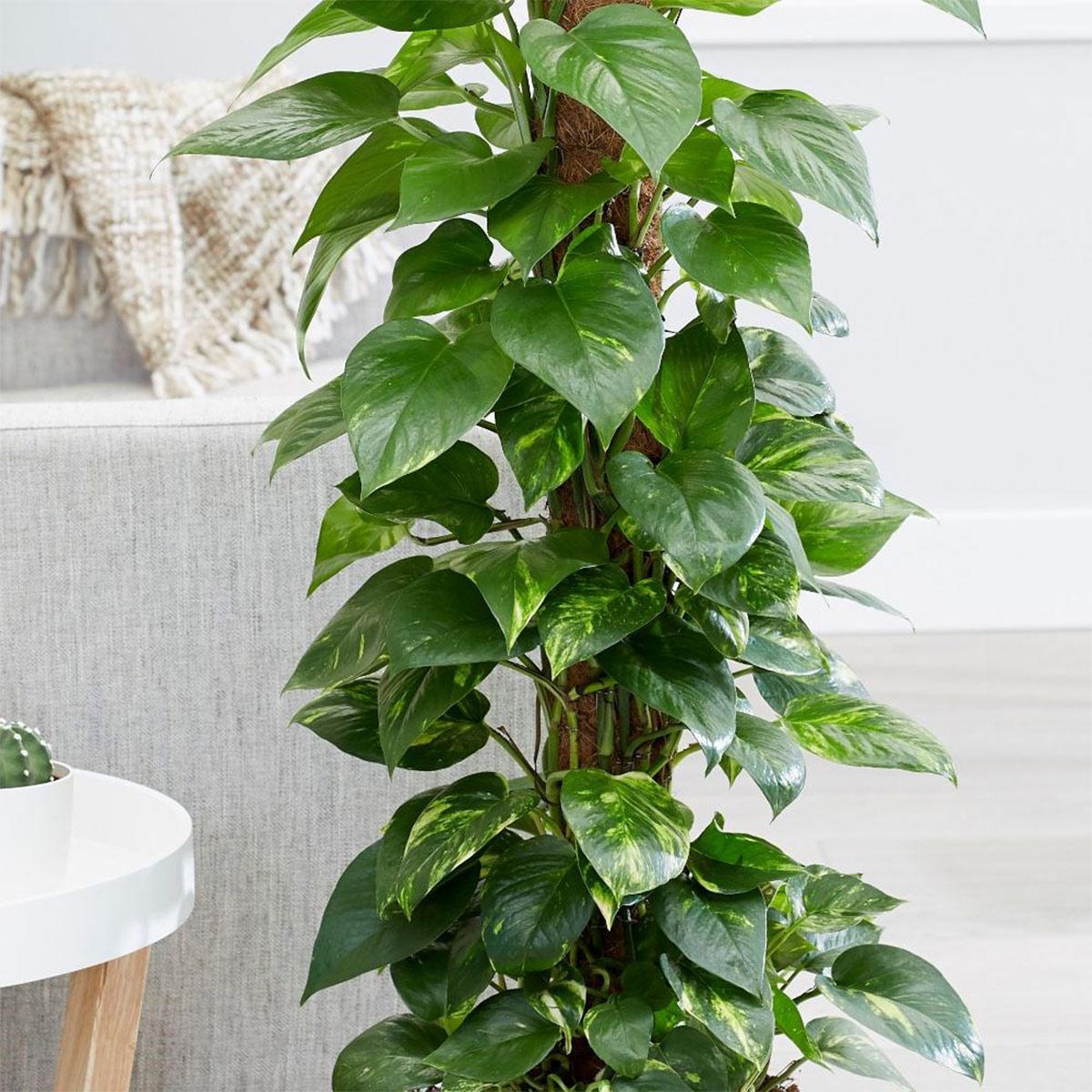 trồng cây trầu bà trong nhà